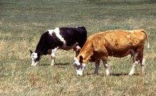 У вас є дві корови...
